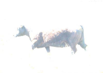 Kuh oder nicht Kuh … das ist hier die Frage