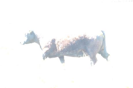 Kuh oder nicht Kuh
